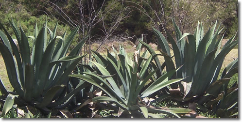 Maguey or Century Plant in Central Mexico